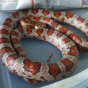 FU, a normal Corn Snake.