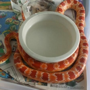 Topher, an amelanistic Corn Snake.